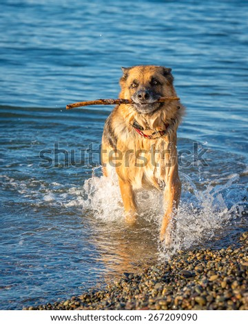 stock-photo-large-german-shepherd-plays-fetch-in-the-waters-of-puget-sound-267209090.jpg