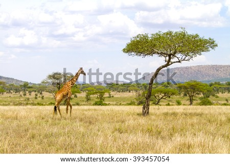 Large giraffe walks at the plains of Africa - stock photo