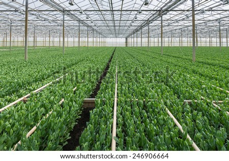 Large glasshouse horticultural industry with nearly flowering Lisianthus plants for the cultivation of cut flowers. - stock photo