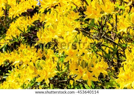 Large golden yellow azalea shrub in full bloom. - stock photo