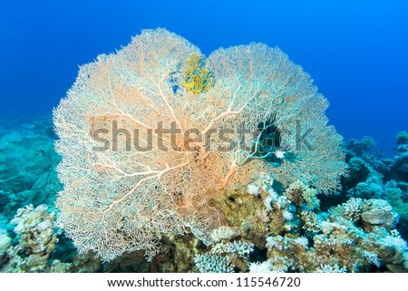 Large Gorgonian Sea Fan on a coral reef in the Red Sea - stock photo