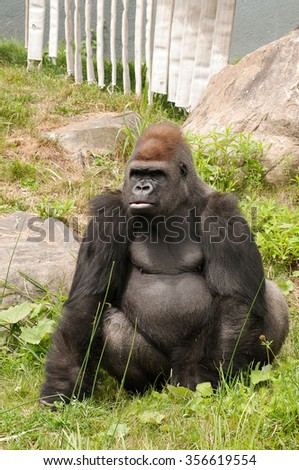 Large gorilla looking at his right at the zoo - stock photo