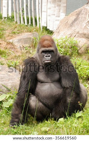 Large gorilla looking straight at the camera - stock photo