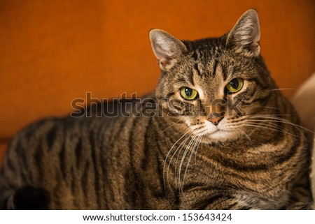 Large gray domestic cat resting on a sofa - stock photo