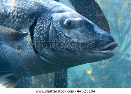 Large gray fish surrounded by small bubbles - stock photo