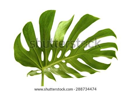 large greef shiny leaf of monstera plant isolated on white background - stock photo