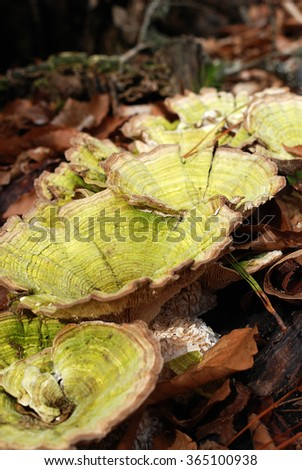 Large green fungus/mushroom on forest floor surrounded by fallen leaves.