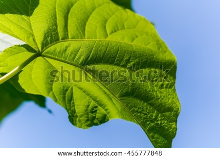 Large green leaves on a background of blue sky. Sunlight shining through leaves.
