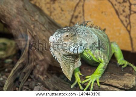 large green lizard sitting on tree bark - stock photo