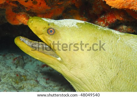 Large Green Moray Eel from dive in Kona, Hawaii