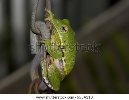 Large green Tree Frog climbing a porch swing chain