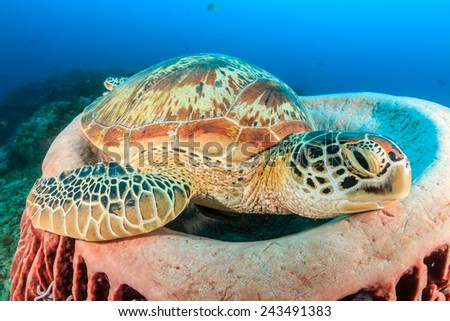 Large Green Turtle resting in a barrel sponge