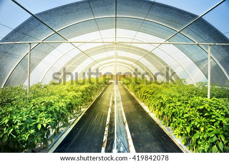Large Greenhouse Farming For Organic Vegetable And Fruits. Green Farm Is  Popular In Food Industry