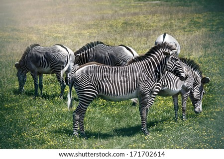 Large Grevy's zebras are an endangered species - stock photo
