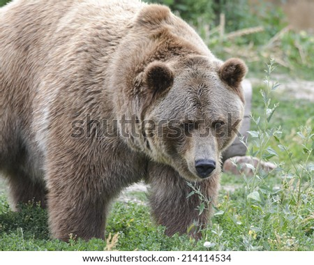 large grizzly