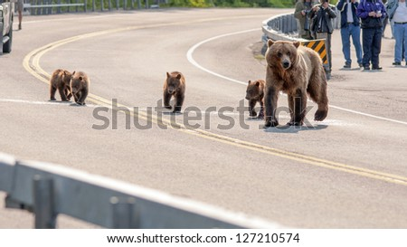 large grizzly family on parade - stock photo