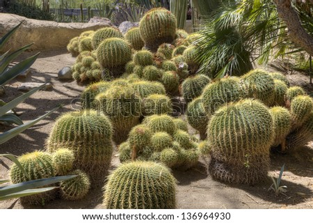 Large group of barrel cactus in a botanical garden