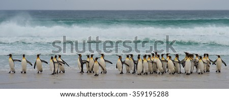 Large group of King Penguins (Aptenodytes patagonicus) come ashore after a short dip in a stormy South Atlantic at Volunteer Point in the Falkland Islands. - stock photo