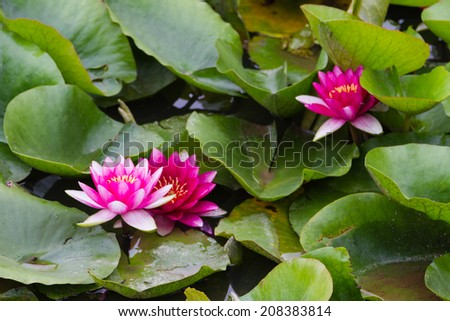 Large Group of Lotus Flowers in the Pond