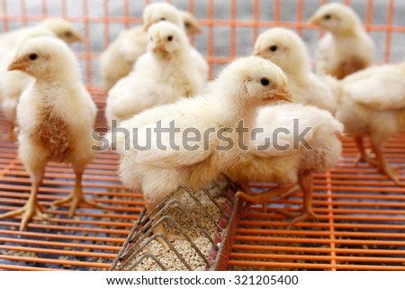 Large group of newly hatched chicks on a chicken farm - stock photo