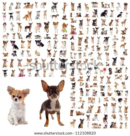 large group of purebred  chihuahuas in front of white background - stock photo
