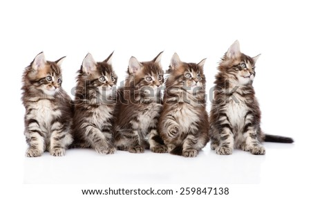 Large group of small maine coon cats looking away. isolated on white background