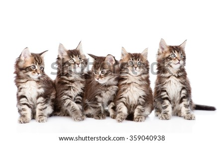 Large group of small maine coon cats looking away. isolated on white background - stock photo