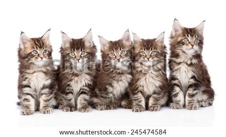 large group of small maine coon cats sitting in front. isolated on white background - stock photo