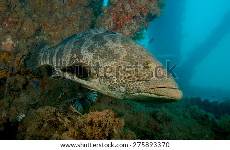 Large grouper under the Navy pier near Exmouth, Western Australia.