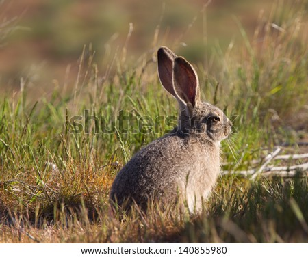Large hare enjoying the morning light - stock photo