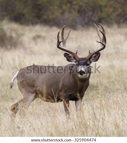Large, heavy antlered Mule Deer buck stag in prairie grassland habitat big game deer hunting in the american west