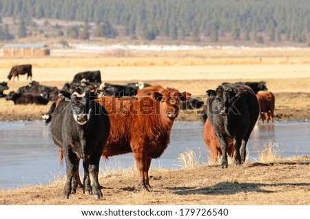 Large herd of angus cross beef steers feed on grass on a ranch in Nevada  - stock photo