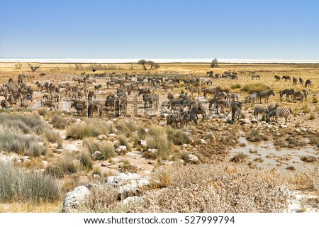 Large herd of Burchell's zebras (Equus quagga burchellii) feed and drink at a waterhole in Etosha National Park, Namibia