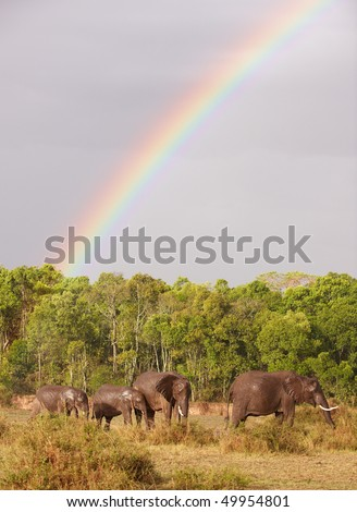 Large herd of Bush Elephants (Loxodonta africana) walking in savanna under a rainbow in the nature reserve in South Africa