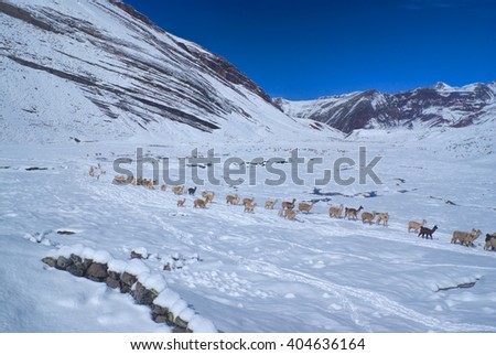 Large herd of domestic alpacas on snow in high altitudes in peruvian Andes, south America - stock photo