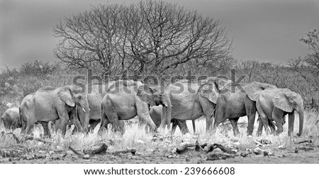 large herd of elephants in black & white walking through the african bush  - stock photo
