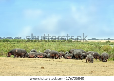 Large herd of hippo (Hippopotamus amphibius kiboko) out of water, Amboseli National Park, Kenya - stock photo