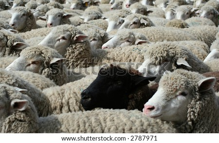 Large herd of sheep heading south for winter pasture - stock photo