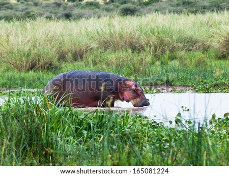 Large hippo standing in water - stock photo