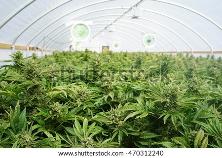 Large Indoor Marijuana Commercial Growing Operation With Fans, Greenhouse,  Equipment For Growing High Quality