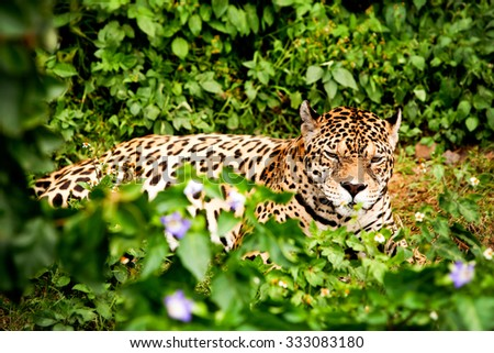 Large Jaguar Male In The Ecuadorian Rainforest With His Ferocious Look Straight To Your Eyes - stock photo