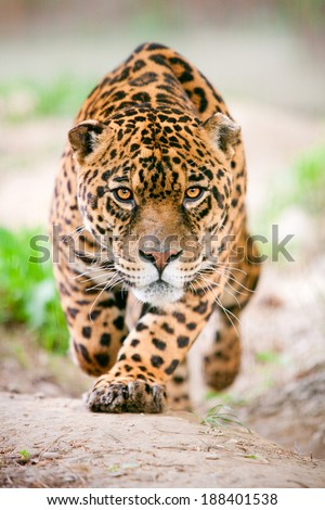 LARGE JAGUAR MALE PERFORMING AN ATTACK, WITH HIS FEROCIOUS LOOK STRAIGHT TO YOUR EYES  - stock photo