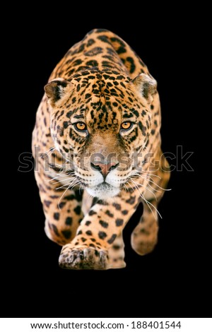 LARGE JAGUAR MALE PERFORMING AN ATTACK, WITH HIS FEROCIOUS LOOK STRAIGHT TO YOUR EYES ISOLATED ON BLACK  - stock photo