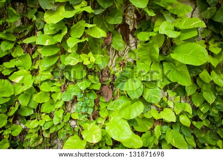 Large leaves. There is a stripe pattern alternating yellow and green. - stock photo