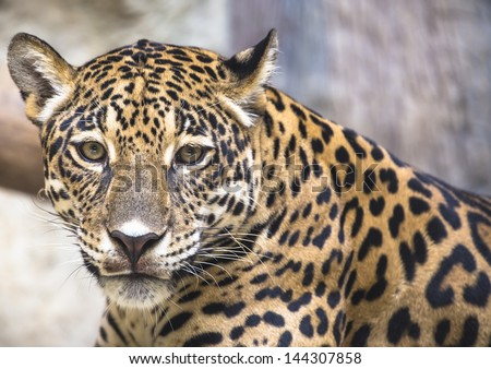 leopard and jaguar hybrid - photo #5