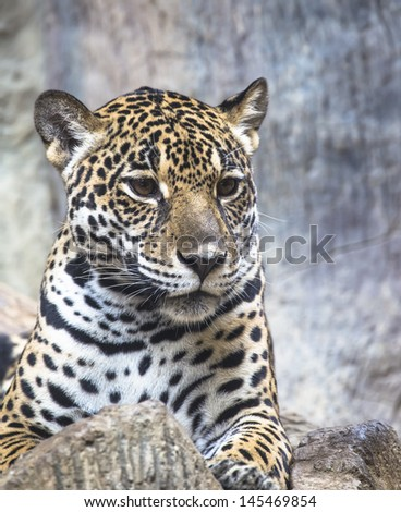 leopard and jaguar hybrid - photo #26