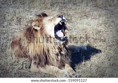 Large lion lying in the grass
