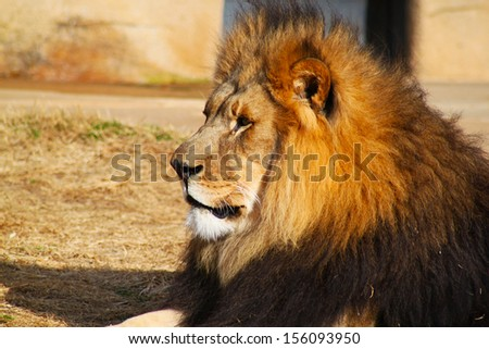 Large lion rests on dry grass