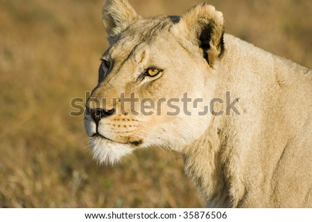 Large lioness profile