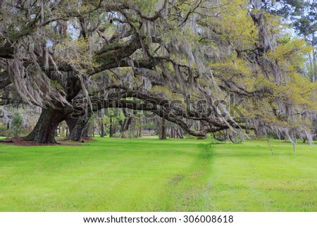 Large live oak tree with hanging spanish moss with spring green grass in southern garden in Charleston, South Carolina. - stock photo